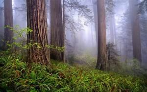 Redwoods Wallpaper - WallpaperSafari
