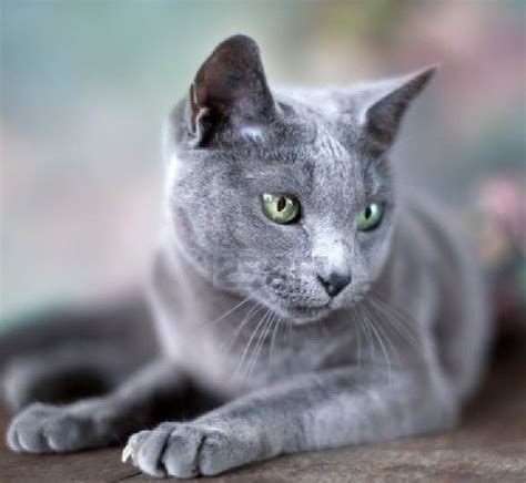 Do Russian Blue Cats Shed by Top 6 Hypoallergenic Cats Allergy Asthma