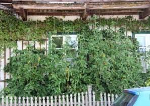 hopfen balkon rankpflanzen als grüner sichtschutz für balkon und dachgarten