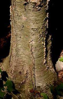 tree trunk wiktionary
