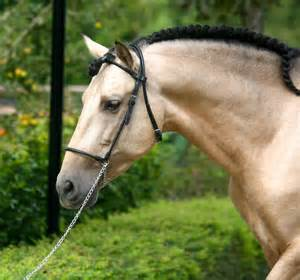 Andalusian Horse Google Search