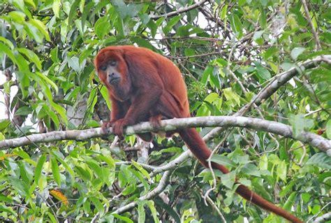 alligator cuisine amazon river animals amazon rainforest wildlife amazon