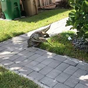Florida Family Terrorized By Giant Lizard That Looks Like