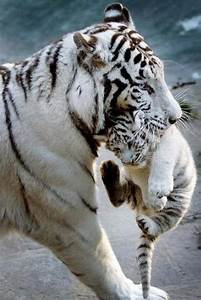78+ images about Tigres bebes on Pinterest | Wolves ...