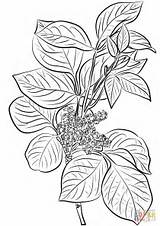 Ivy Poison Coloring Pages Leaves Drawing Toxicodendron Plant Rhus Flowers Printable Leaf Getdrawings Common Paper Games Supercoloring sketch template
