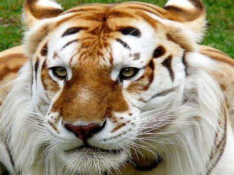 Golden Tiger Wallpaper High Definitions Wallpapers