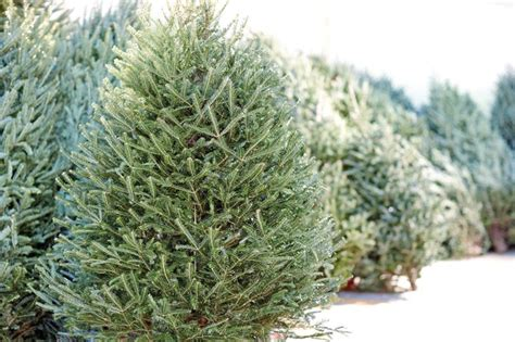 fresh cut live christmas trees the home depot canada