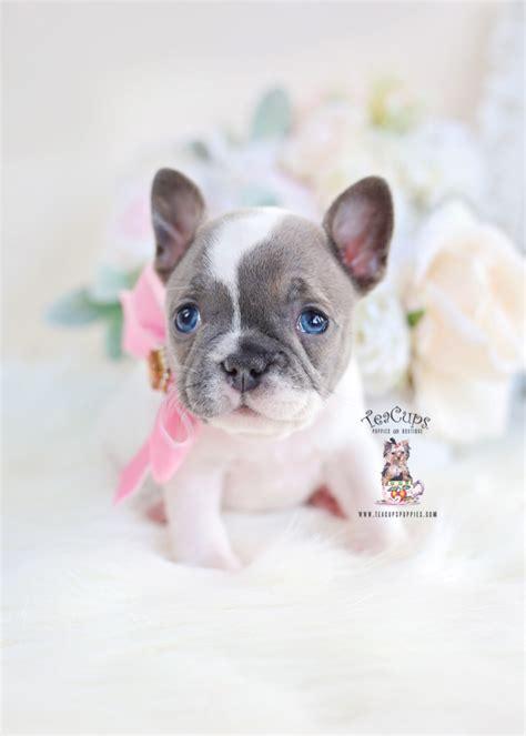 teacup pomeranian puppies  sale  miami ft