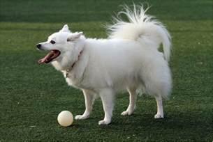 american eskimo breed temperament the american eskimo breed breeds picture