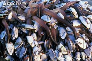 Goose barnacle videos, photos and facts - Lepas anatifera ...
