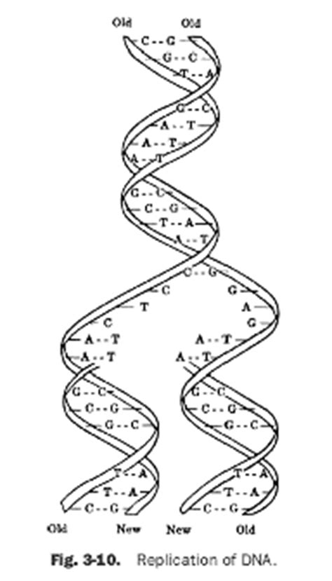 dna replication coloring worksheet key coloring pages