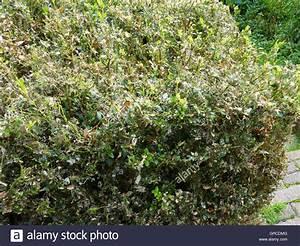 Buchsbaum Befall Raupen : buchsbaum hecke befall durch cydalima perspectalis stockfoto bild 117673488 alamy ~ Watch28wear.com Haus und Dekorationen
