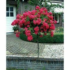 Gartensträucher Blühend Winterhart : rose 39 raubritter 39 roses more roses pinterest berreichen kletterrosen und winterhart ~ Orissabook.com Haus und Dekorationen