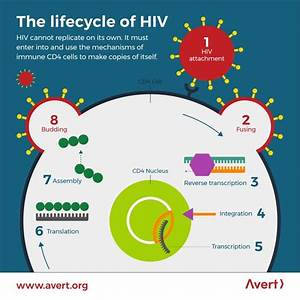 The Lifecycle Of Hiv