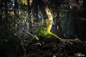 Japan U2019s Suicide Forest  Aokigahara