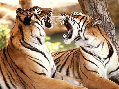 Tiger Wallpapers Desktop Tigers Bing Wild Tijger