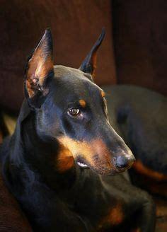 austrian black  tan hound oesterreichische glatthaarige