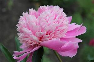 Pink Flowers: 21 Types + Pictures | FlowerGlossary.com