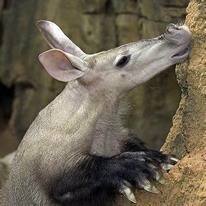 Aardvark Eating Termites | www.pixshark.com - Images ...