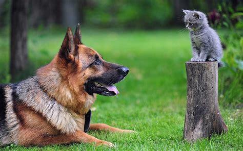 Big German Shepherd And Cute Little Cat