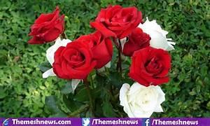 Most Beautiful Rose Flower On Earth | www.pixshark.com ...