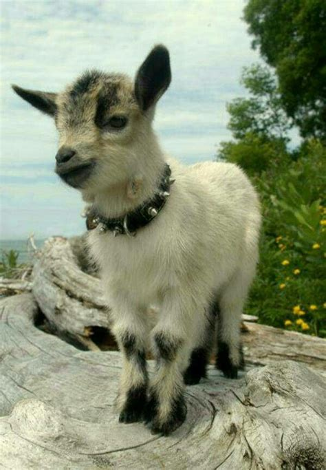 baby goat love  collar btw baby goat pictures cute