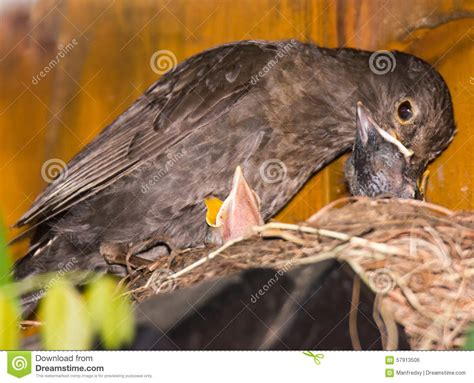 common blackbird feeding babies stock photo image 57913506