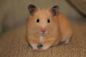 PENNY-the world's cutest hamster. Please 'Like' her ...