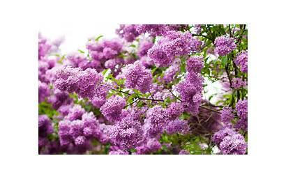 Lilac Flowers Wallpoper Purple Fb