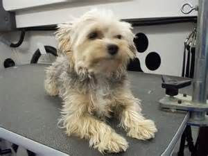 Maltese and Yorkie Mix Adult