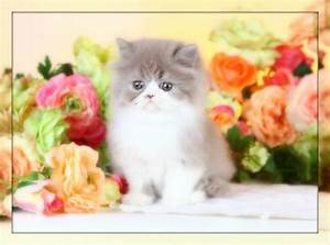 Lilac and White Persian Kitten for sale Mary LouUltra Rare ...