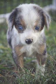 Australian Shepherd Beagle Mix