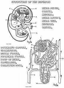 89 Best Urinary System Images On Pinterest