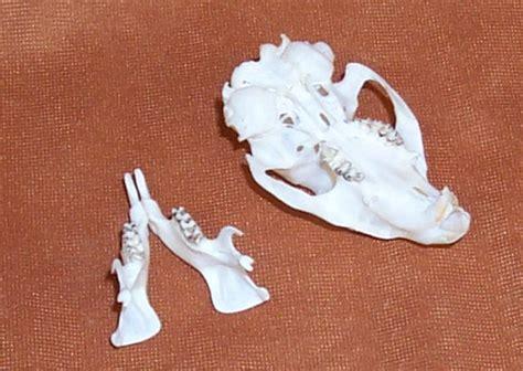 columbian ground squirrel skulls  sale  www