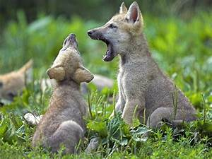 Wolf | The Biggest Animals Kingdom