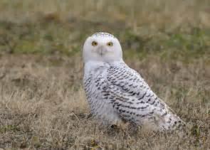 Cute Snowy Owl