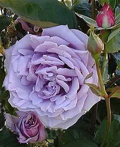 Mainzer Fastnacht Rose : rose color glicine germogli parole ~ Orissabook.com Haus und Dekorationen