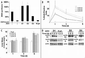 Cyclins D1  D2 And D3 Trigger Hepatocyte Proliferation And