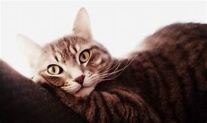 Лечение аденомы у кошки