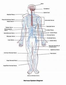Anatomy Organ - Human Anatomy Organ : Head, Neck, Hand ...