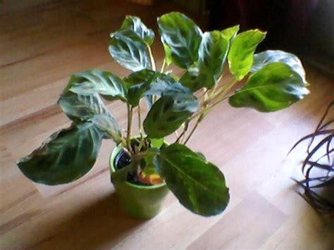 dynamic gardening prayer plant rooted spiderplant