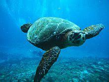 tartaruga marinha wikipedia  enciclopedia livre