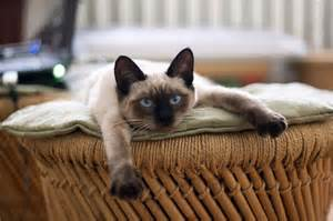best cat food for kittens best cat food for siamese cats fluffy kitty