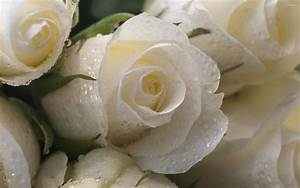 Water drops protecting the white roses wallpaper - Flower ...