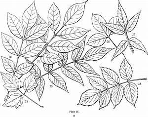 Vintage Leaves Illustration - Line Art
