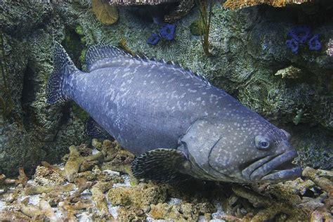 grouper queensland aquarium pacific tropical habitat charter species reef lives aquariumofpacific