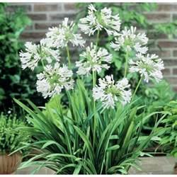 get better soon flowers agapanthus snowball australian plants online