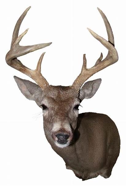 Deer Mount Silhouette Head Clip Transparent Coues