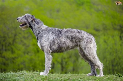 wolfhound non shedding wolfhound breed information buying advice