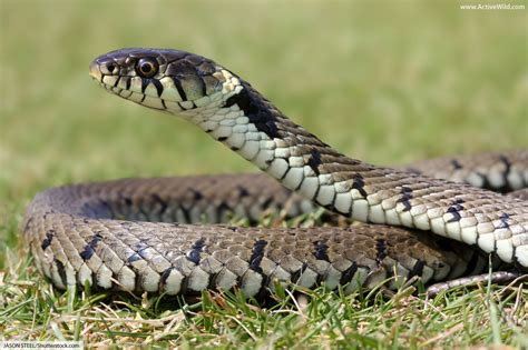 british reptiles list pictures facts includes